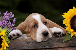 """Fig. 1. Unknown photographer. """"Basset Hound Puppy."""" Available from: Flickr Commons, http://www.flickr.com/photos/60144174@N06/7601550708 (accessed January 14, 2014)."""